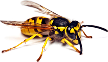 Expert wasp nest removal in Essex